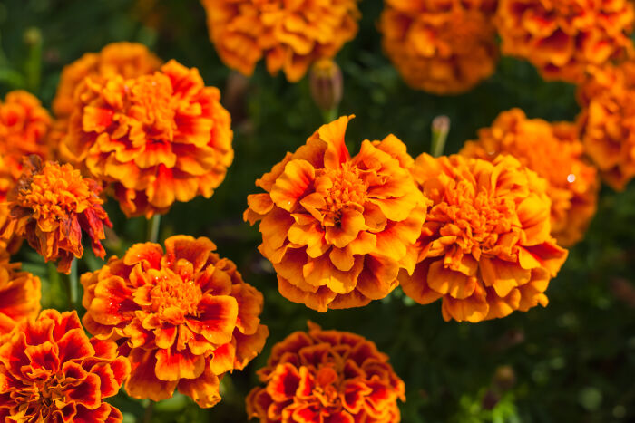 Marigold Flower Or Tagetes Patula Blossom image